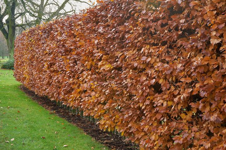 De Carpinus Betulus of haagbeuk in de winter behoudt een deel zijn bladeren