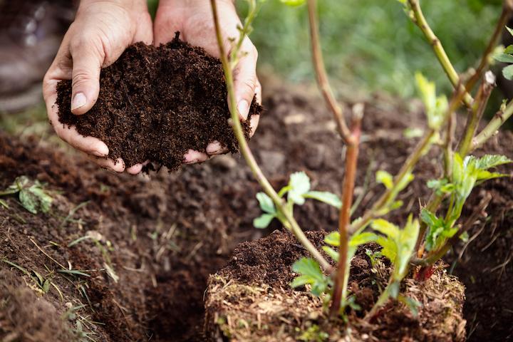 Planten van jonge plantenscheuten