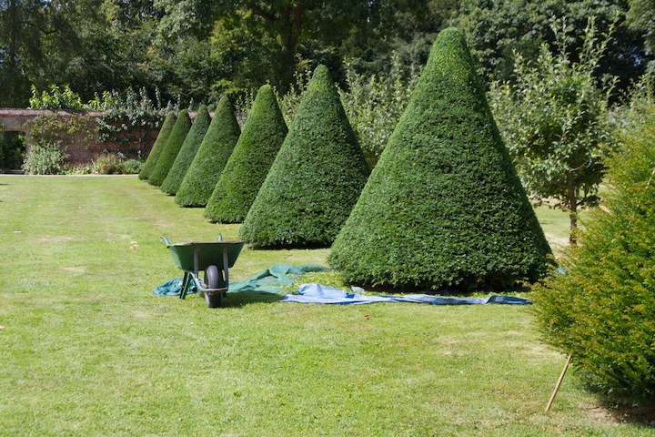 Tuinman snoeit taxusbomen in de tuin
